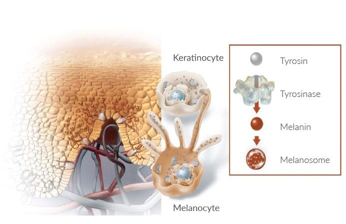 EW Villa Medica - Vegetal Placenta (VP TSSRP), Increased Synthesis of Melanin by Key-enzyme Tyrosinase